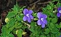 Browallia speciosa (bush violet) 2 (38776942744).jpg