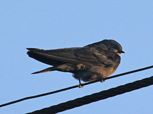 Brown-bellied swallow - Image: Brown bellied Swallow RWD2
