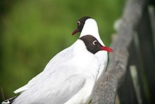 Brown-hooded Gull.jpg