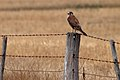 Brown Falcon (24783511135).jpg