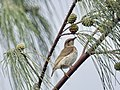 Brown Honeyeater (31994872051).jpg