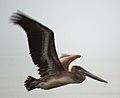 Brown Pelican Profile (8260632283) (2).jpg