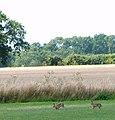 Brown hares (Lepus europaeus) - geograph.org.uk - 1411327.jpg