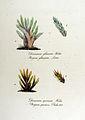Bryum glaucum — Flora Batava — Volume v12.jpg