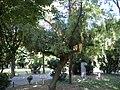 Bucuresti, Romania, Parcul Cismigiu (Arbore ocrotit - TOREYA - Toreya Nucifera); B-II-a-A-19655.JPG