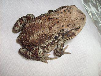 Asiatic toad - Image: Bufo gargarizans dorsal sitting