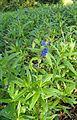Buglossoides purpurocaerulea kz2.jpg