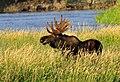 Bull moose eating Coyote Willow on Seedskadee National Wildlife Refuge (15023513636).jpg