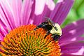 Bumblebee (Bombus sp.) (18847573288).jpg