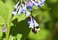 Bumblebee hanging from bluebell.jpg