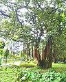Bunyan tree;national botanical garden Bangladesh.jpg