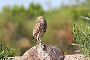 Burrowing owl - A burrowing owl on the lookout