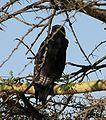 Buteo augur Arusha National Park cropped.jpg