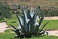 Butha bothe aloe Vera Lesotho.jpg