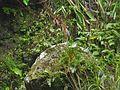 Butorides virescens ( Heron vert ).jpg