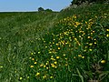 Buttercups north of Salter's Hill - geograph.org.uk - 1355088.jpg