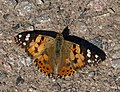 Butterfly, Higher Brownstone - geograph.org.uk - 1353344.jpg