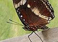 Butterfly 14 (30575605780).jpg