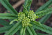 Butterfly Weed Asclepias tuberosa Flower Buds 3008px.jpg