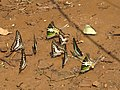 Butterfly mud-puddling at Kottiyoor Wildlife Sanctuary (22).jpg