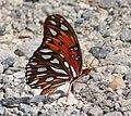 Butterflybc (247716928).jpg