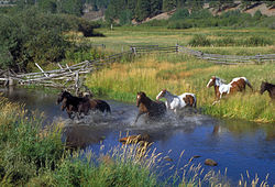 Horses running through the creek on the McDonald Ranch, September 1999