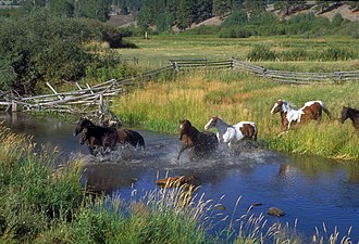 Niarada, Montana - Horses running through the creek on the McDonald Ranch, September 1999