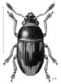 COLE Anthribidae Micranthribus atomus m.png