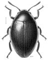 COLE Byrrhidae Liochoria huttoni.png