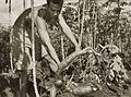 COLLECTIE TROPENMUSEUM Het oogsten van sinkong (ketella) in de omgeving van Bogor TMnr 60052155.jpg