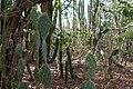 Cacti, Hato Caves, Curaçao (4388987760).jpg