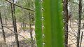 Cactus stem (10869220123).jpg
