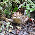 Caiman crocodilus - Flickr - Dick Culbert.jpg