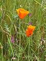 California poppy - Malcolm Manners.jpg