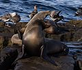 California sea lions in La Jolla (70425).jpg
