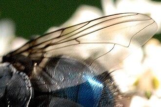 Blue bottle fly - Image: Calliphora.vomitoria 9. .lindsey