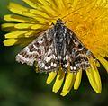 Callistege (Euclidia) mi - Mother Shipton moth - Flickr - S. Rae.jpg