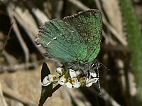 Sheridan's green hairstreak butterfly
