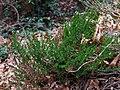 Calluna vulgaris 108724935.jpg
