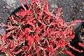 Calluna vulgaris Multicolor 4zz.jpg