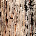 Calocedrus decurrens bark.jpg