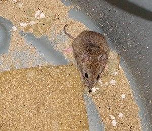 Vesper mouse - Calomys laucha
