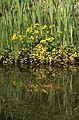 Caltha palustris - Heidelberg.jpg