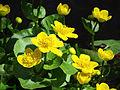 Caltha palustris Moshchun2.JPG