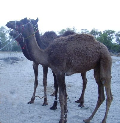 Camel-Desert animal