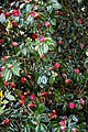 Camellia japonica 'Rubescens Major' at RHS Garden Hyde Hall, Essex, England 03.jpg