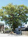 Camphor tree Saga Yanagimachi.JPG