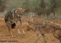 Canis anthus - Cécile Bloch 11.png