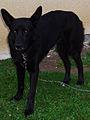 Canis lupus familiaris 002.JPG
