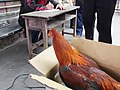 Capon for Weight Contest 參賽閹雞 - panoramio.jpg